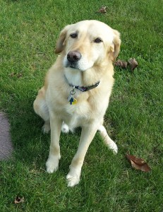 The first cadaver dog successfully used in a homicide investigation was a yellow lab, like the dog pictured here.