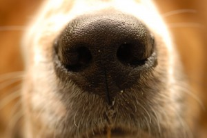 The nose knows. MorgueFile free photo.