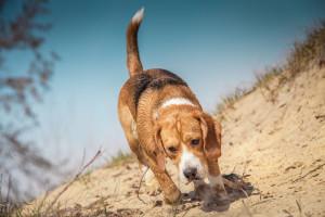A beagle tracks a scent. Soloviova Liudmyla, shutterstock.