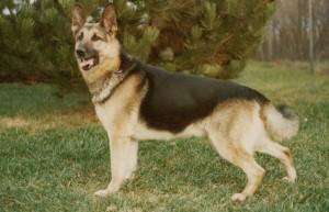German cadaver dog