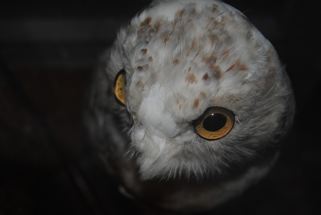 The owl from the Naturalist Tavern.