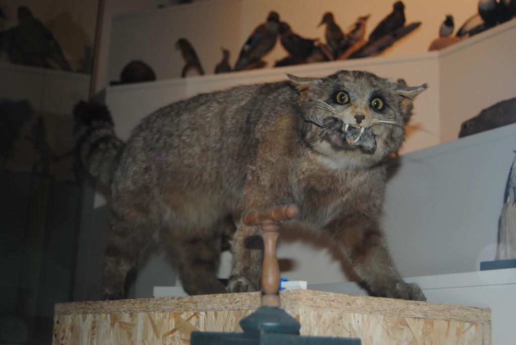 The original wildcat from the Naturalist Museum.