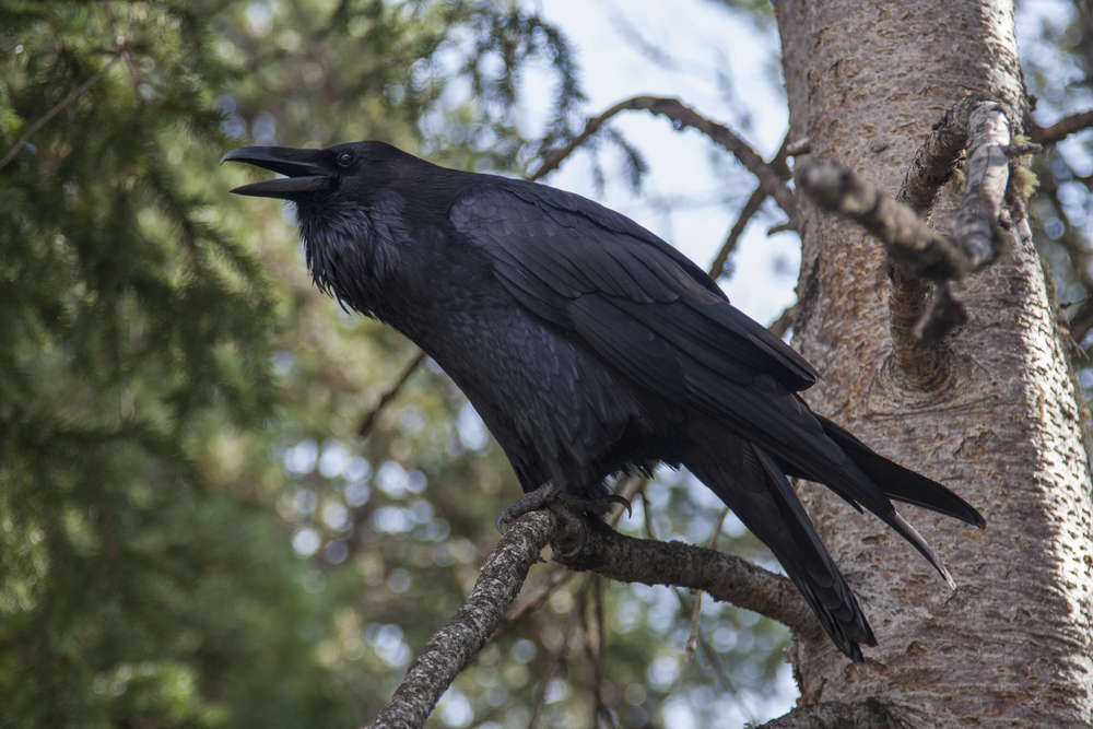 Raven in Yellowstone