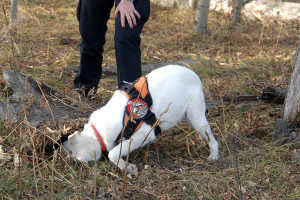 The cadaver dog team in training: the dog finds the hidden sent.