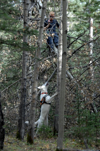 A good cadaver dog team is also trained to search in trees.