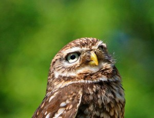 Little Owl calls were among the common animal called imitated by criminals.