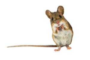 A mouse pestered Mark Twain in Heilbronn