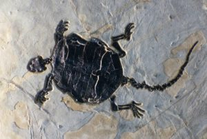 turtle fossil