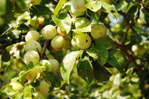 Greengages on a branch.