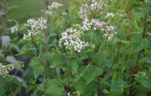 Might white snakeroot have caused the death of Ambrose Madison?