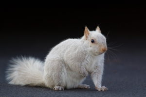 The white squirrel is a rare morph of the grey squirrel.